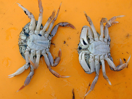 Sexing of Dungeness Crab Only the males may be retained.